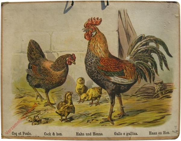 729 - Coq et Poule, Cock & hen, Hahn und Henne, Gallo e gallina, Haan en Hen